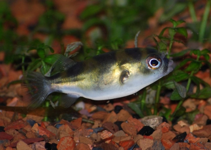 Cats fish and hooking for Amazon puffer fish